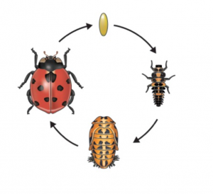 Diagram of the life cycle of a ladybug.